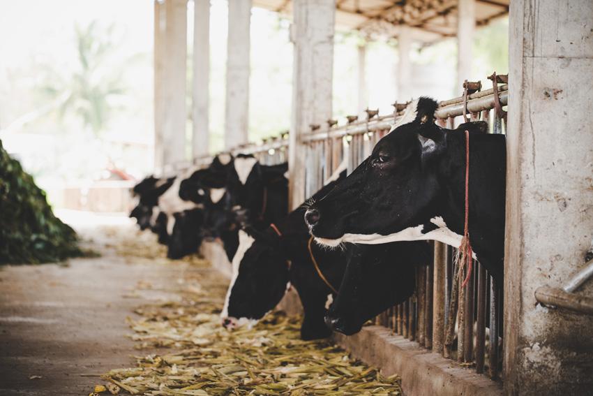 desinfectantes para granjas - vacas