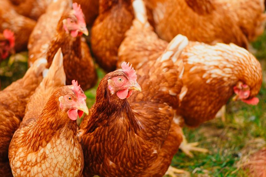 desinfectantes para granjas - gallinas