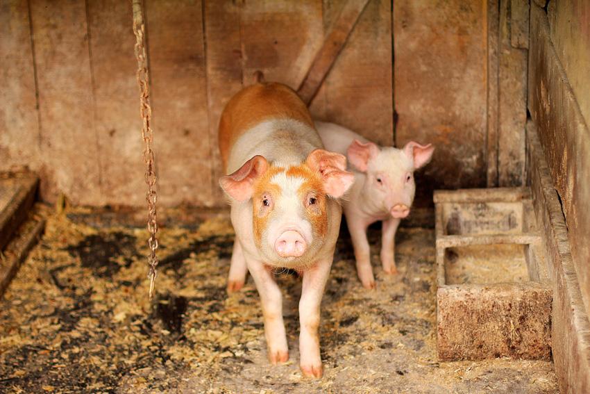 desinfectantes para granjas - cerditos