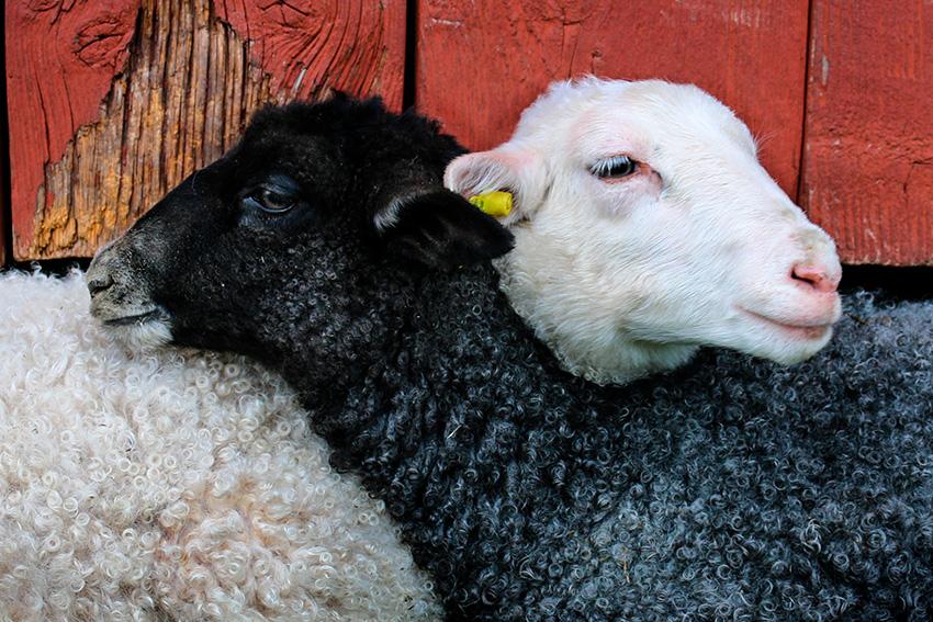 desinfectantes para granjas - oveja