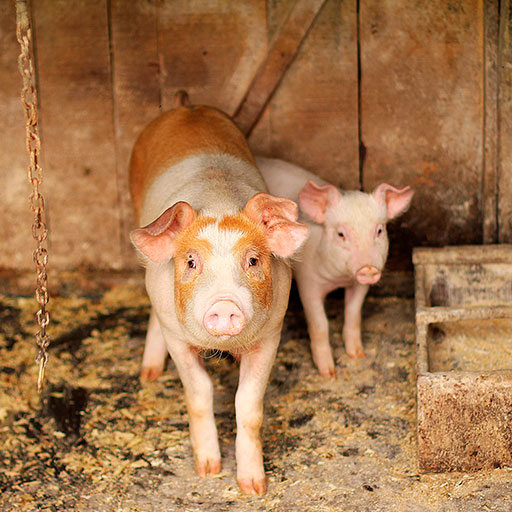 desinfectantes para agricultura y ganadería - cerdito